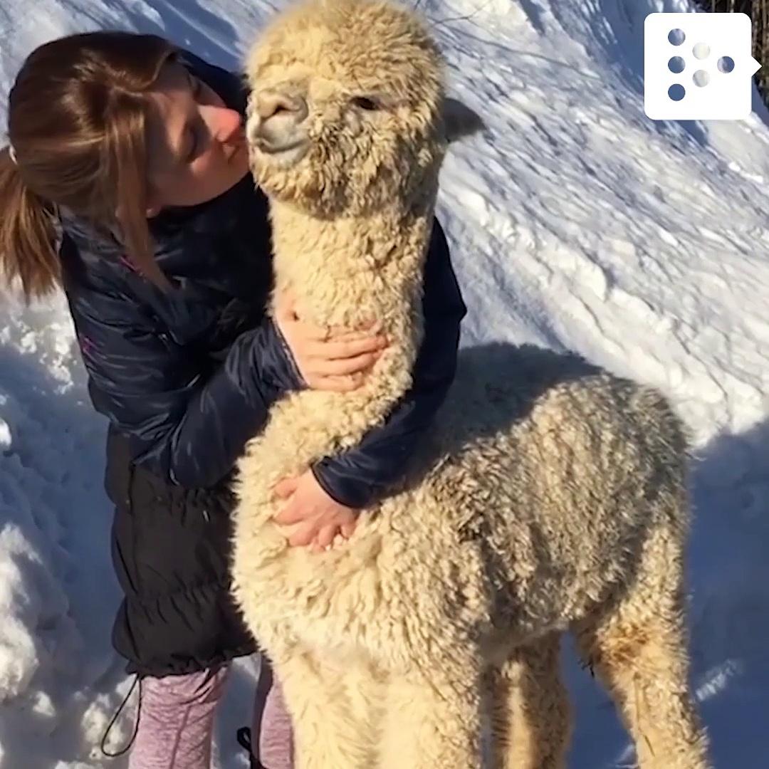 Una alpaca que adora los mimos