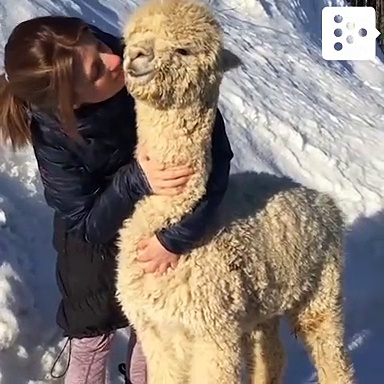 An alpaca that loves being pampered