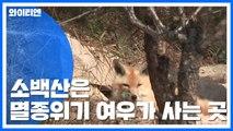 소백산은 '여우의 삶 터'...자연 적응 순조 / YTN