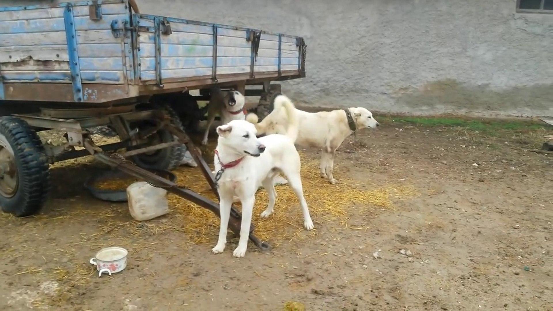 ADAMCI AKBAS COBAN KOPEKLERi AMAN VERMiYOR - ANGRY ANATOLiAN SHEPHERD AKBASH DOGS
