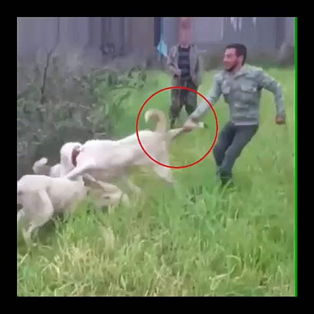 BiBRiNE GiREN iRAN COBAN KOPEKLERi - PERSiAN SHEPHERD DOGS VS