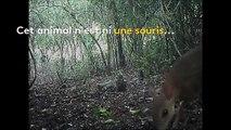 Vietnam : un cerf-souris sauvage observé pour la première fois depuis plus de vingt-cinq ans