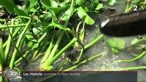 Kenya : la jacinthe d'eau étouffe le lac Victoria