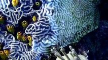 Corais doentes no Caribe