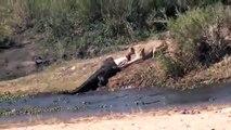Quand une lionne et un crocodile se disputent la même proie