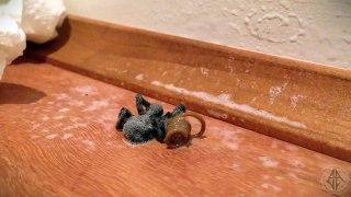 Le parasite qui sort de cette araignée est terrifiant
