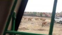 Quand sonne l'heure du repas pour des dizaines de tigres...