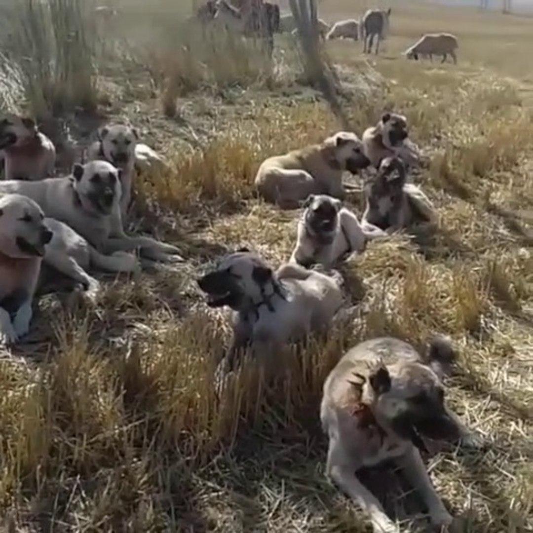 SiVAS KANGAL KOPEKLERi GOREViNiN BASINDA - KANGAL DOGS at WORK