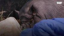 روسيا: أضخم خنزير في العالم