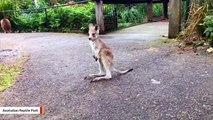 Kangaroo Joey Discovers Joys Of Life With Its First Hops