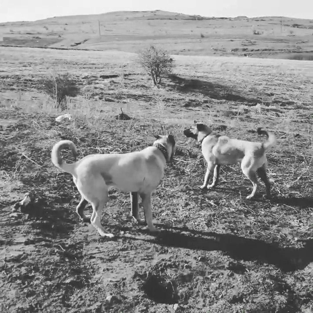 ANADOLU ÇOBAN KOPEKLERi BAHCE KORUMA GOREViNDE - ANATOLiAN SHEPHERD DOG in GARDEN