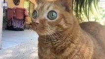 Un chat aux yeux étrangement globuleux est la nouvelle star d'Instagram