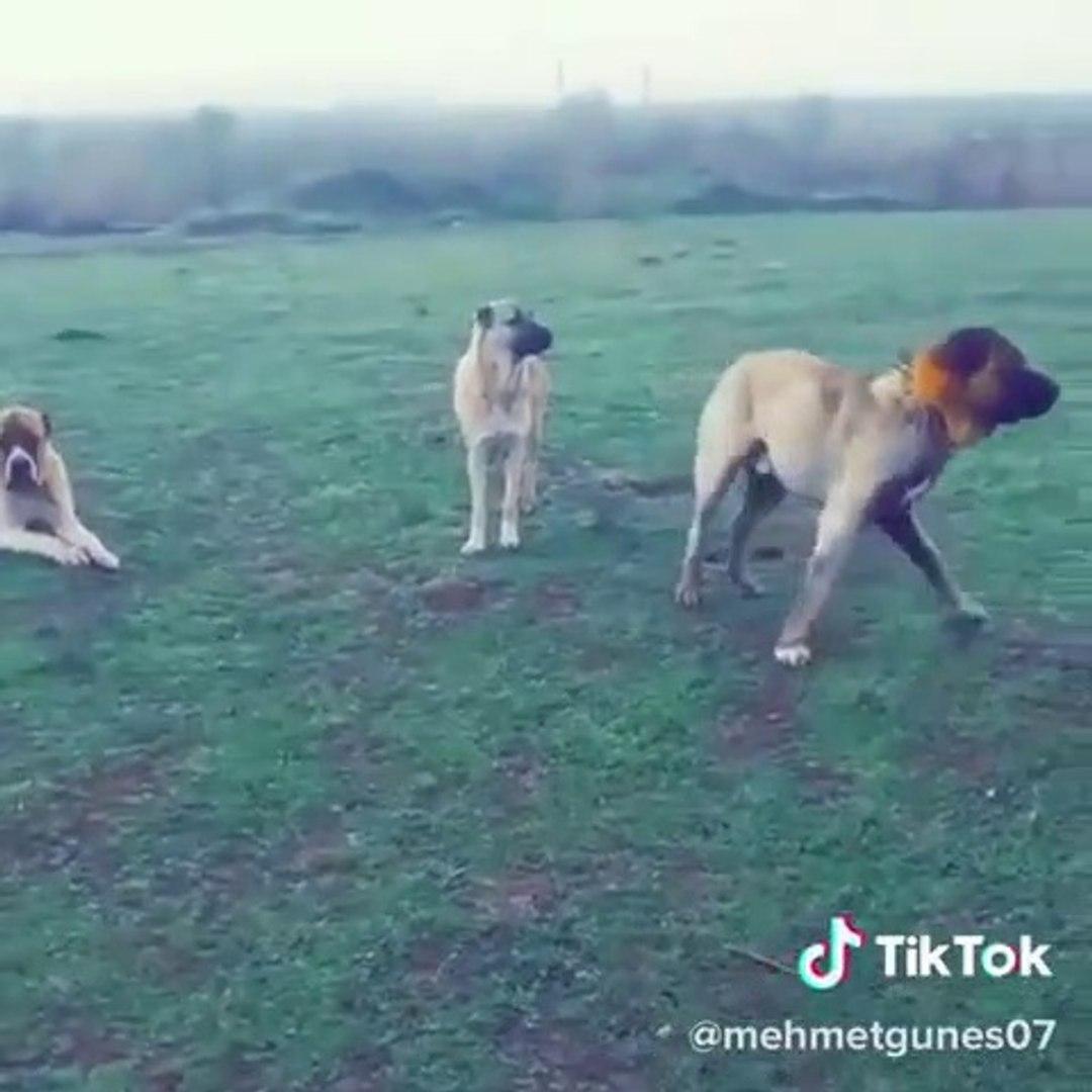 KıNALI ANADOLU COBAN KOPEKLERi GOREVDE - ANATOLiAN SHEPHERD DOG at MiSSiON