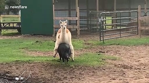 Farmyard ride-share: Alpaca catches ride from pig