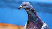 Thanks To Human Hair, Pigeons Are Losing Their Toes