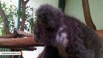 These Koala BFFs Will Melt Your Heart