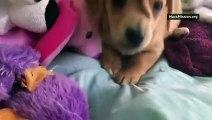 Meet Narwhal the 'unicorn' puppy