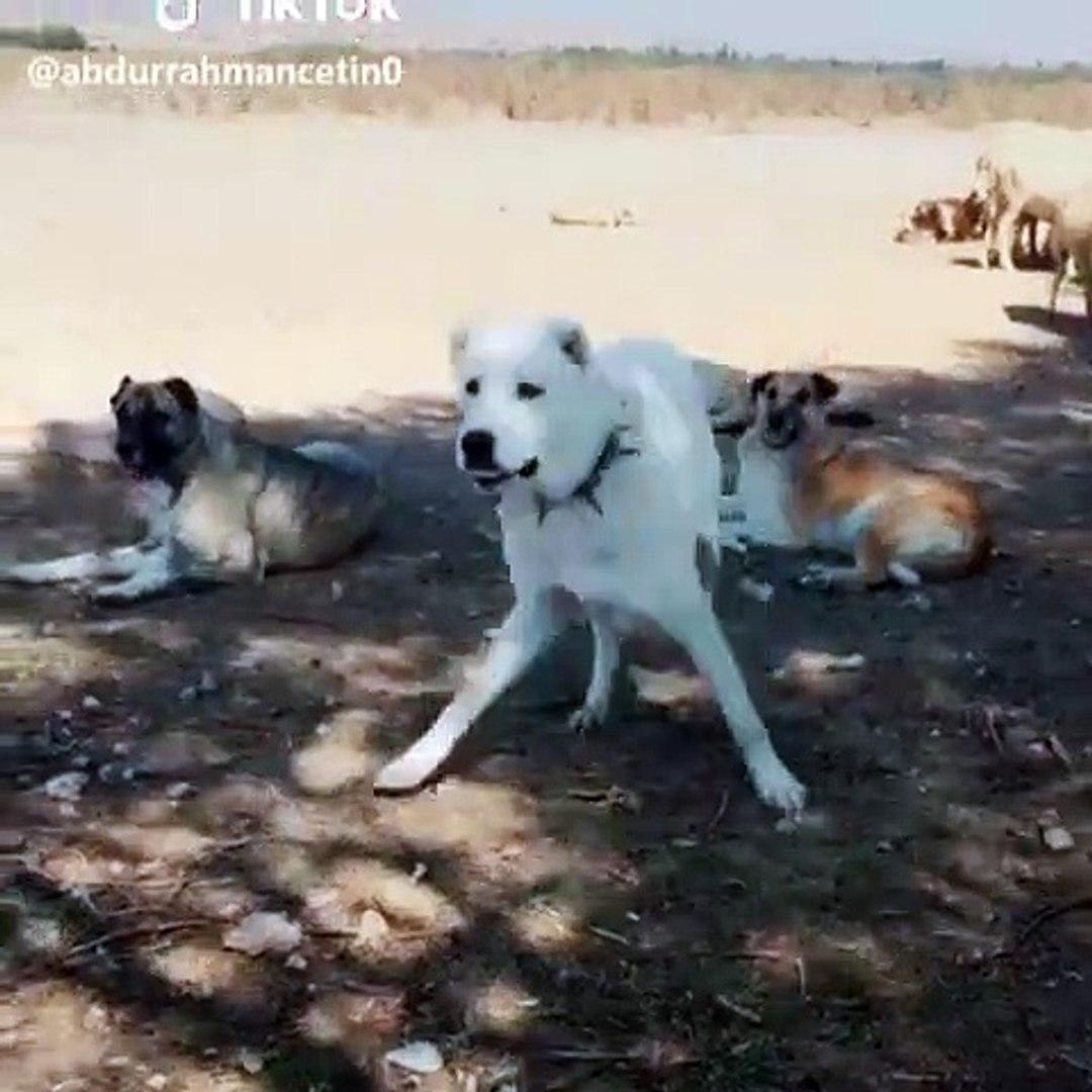 AKBAS COBAN KOPEKLERi GOREV BASINDA HAZIR KITA - ANATOLiAN AKBAHS DOG MiSSiON SHEEP