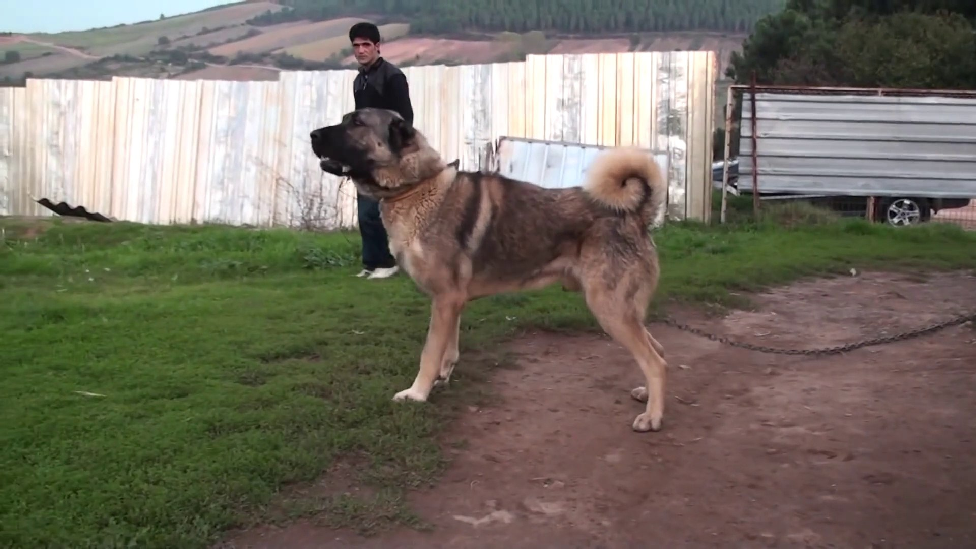 TAM SiMiT KUYRUK ANADOLU COBAN KOPEGi - GiANT and ANGRY ANATOLiAN SHEPHERD DOG