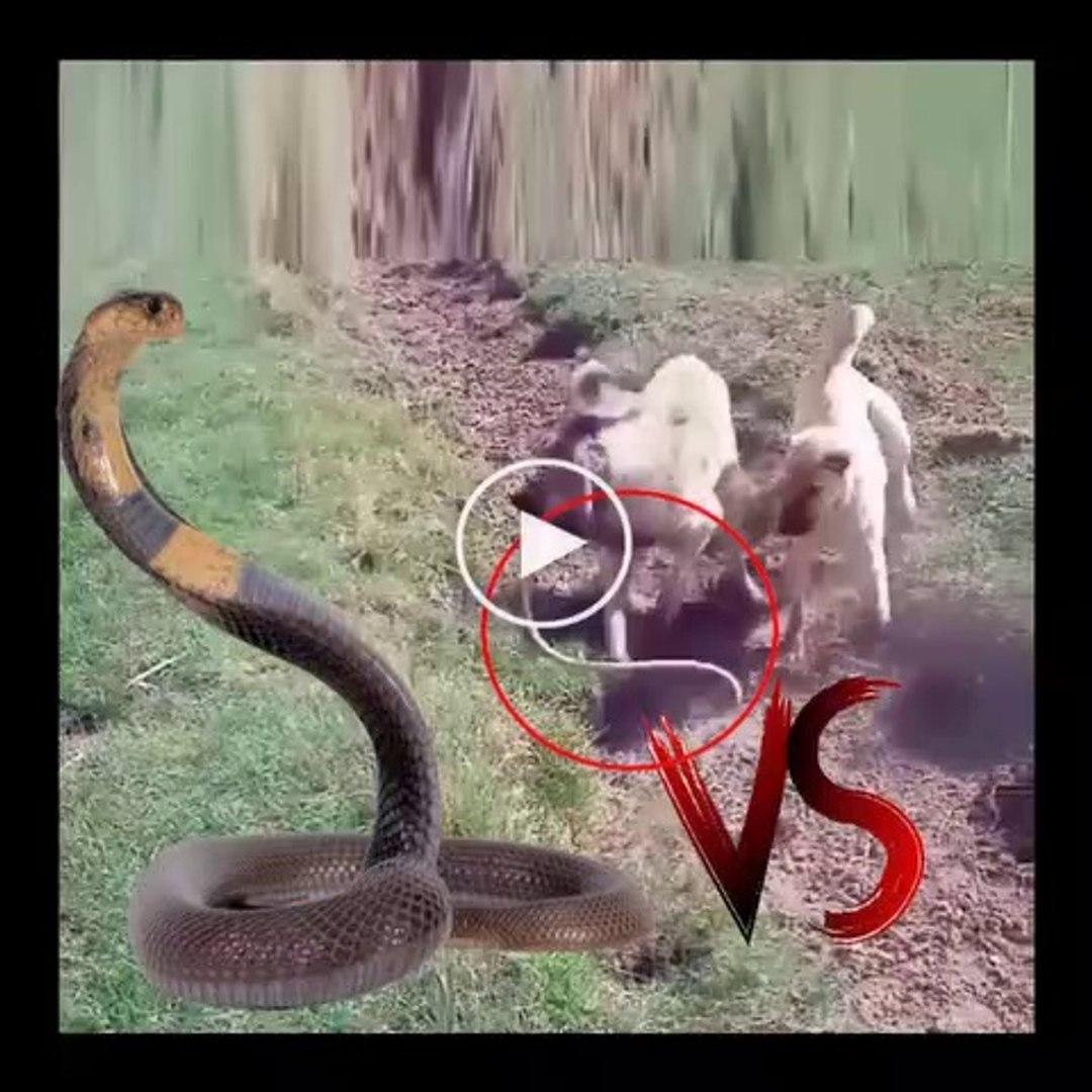 ANADOLU COBAN KOPEKLERi VS YILAN - ANATOLiAN SHEPHERD DOGS vs SNAKE