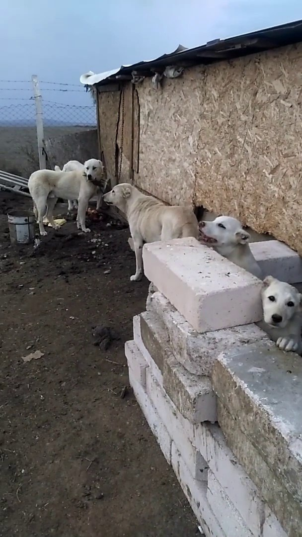 AKBAS COBAN KOPEKLERi GOREVE HAZIRLAR - AKBASH SHEPHERD DOGS READY for DUTY