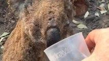 Vídeo viral: La desgarradora imagen de un koala quemado bebiendo agua tras los incendios de Australia