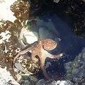 Ce poulpe a choisi l'endroit idéal pour chasser : une grosse flaque