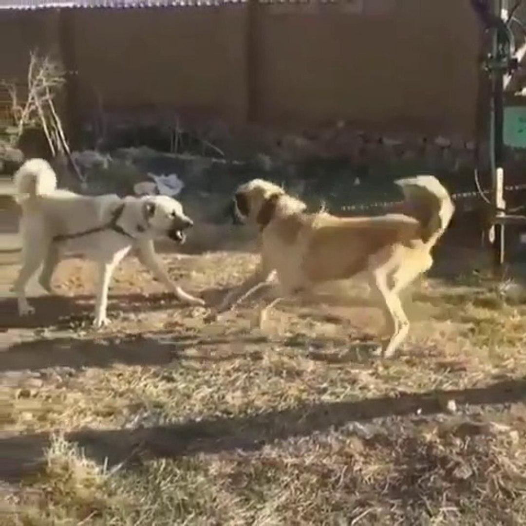 ANADOLU COBAN KOPEKLERi YAKIN ve SERT ATISMA - ANATOLiAN SHEPHERD DOGS NEAR VS
