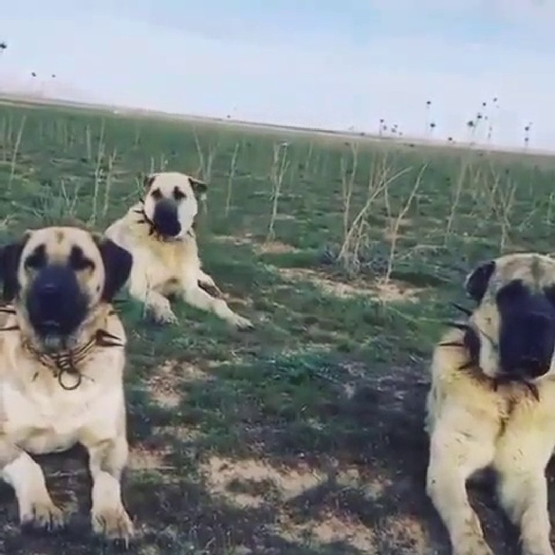 KANGAL ve ANADOLU COBAN KOPEKLERi GOZLER HEDEFTE - ANATOLiAN SHEPHERD DOGS and KANGAL DOG