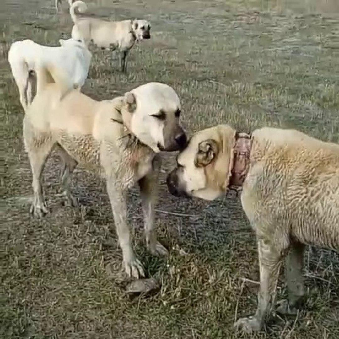 AKBAS, KANGAL KOPEKLERi BiRARADA GOREV BASINDA - AKBASH DOG KANGAL DOG at MiSSiON