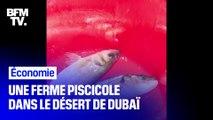 Dubaï développe une ferme piscicole pour élever du saumon dans le désert