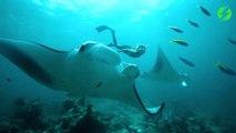 Cette plongeuse nage au milieu de raies manta géantes