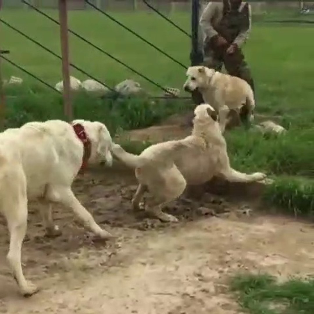 ALABAY COBAN KOPEKLERi SERT ve YAKIN ATISMA - ALABAi SHEPHERD DOGS NEAR VS
