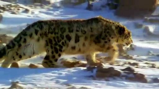 Buffalo Yak Save Baby From Snow Leopard Hunt . Buffalo vs Leopard   Aniamals Save Another Animals