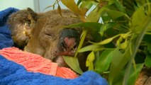 Scorched koala reunited with rescuer who took shirt from her back