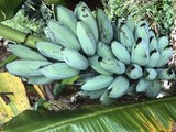 BLUE JAVA BANANAS! There are blue bananas that taste like vanilla ice cream and you can buy them in Arizona - ABC15 Digital