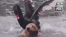 Black swan bullies golden retriever out of lake