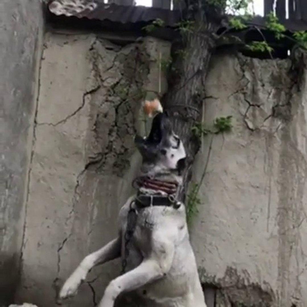 SiVAS KANGAL KOPEGiNiN ATIiKLiGi - KANGAL SHEPHERD DOG
