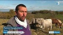 Aude : les cloches de ses vaches font trop de bruit, l'éleveur convoqué par la gendarmerie