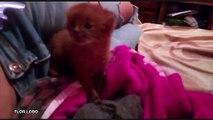 Cette Argentine adopte un bébé puma en pensant recueillir un chaton