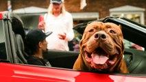 Giant Pit Bull Hulk Visits The Birthplace Of DDK9s | DOG DYNASTY