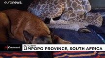 La Giraffa accudita dal cane: è l'amicizia bellezza