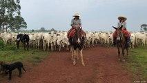 البرازيل - كيف نحمي الغابات المطيرة من جشع تجار الأبقار؟