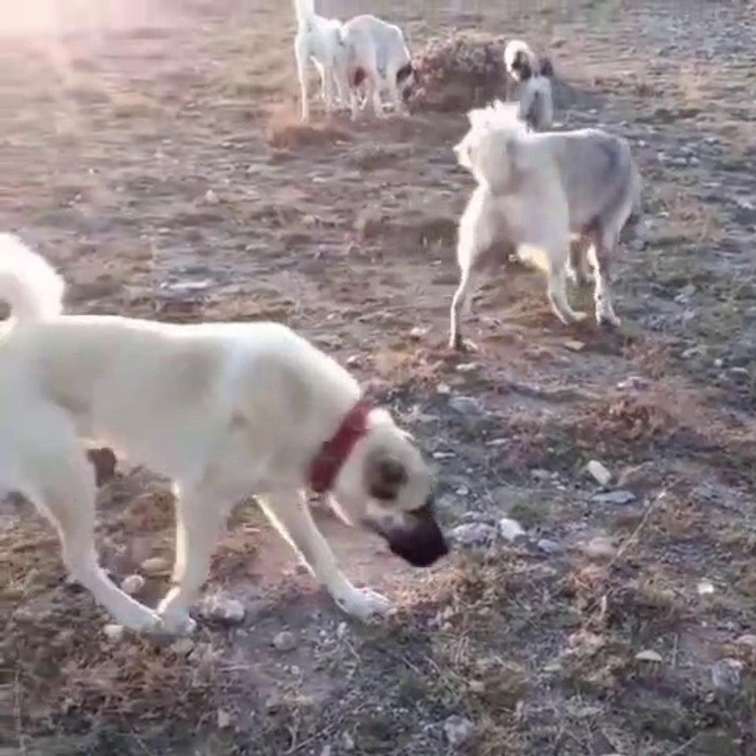AKBAS KOPEKLERi KANGAL KOPEKLERi KOYUN NOBETi - AKBASH DOGS KANGAL DOGS SHEEPS MiSSiON
