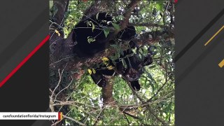 Bear Apparently Running Away From Tigers Found Hiding In Tree