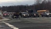 Canada : cet élan énorme traverse la route devant les voitures !