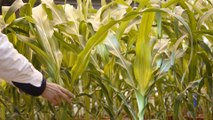 Planet SOS: Can GMO plants stop global warming?