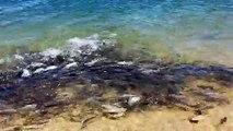 Un banc de poissons bleus affamés... Impressionnant