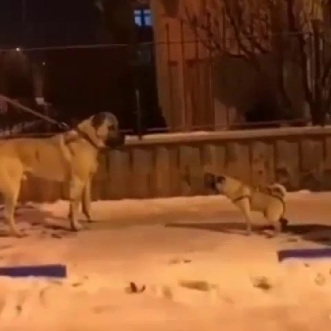 ANADOLU COBAN KOPEGi ve SUS KOPEGi PUG KARSILASMA - ANATOLiAN SHEPHERD DOG and PUG DOG ENCOUNTER