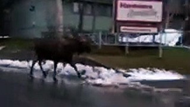 Bull Moose Follows Family